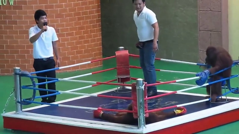 комический бокс обезьян