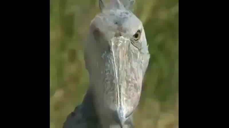 Китоглав или королевская цапля Очень крупная птица её высота в среднем составляет 1 2 м mp4