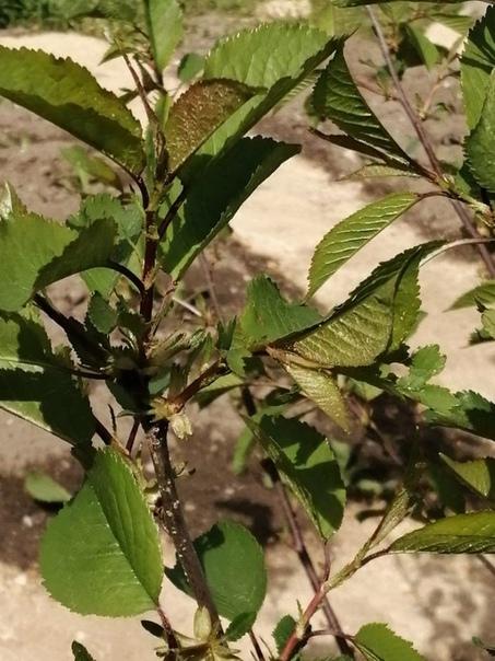 Подскажите, пожалуйста, что это за дерево растет у меня на участке Заранее благодарю