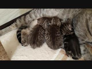 Шотландские котятки.