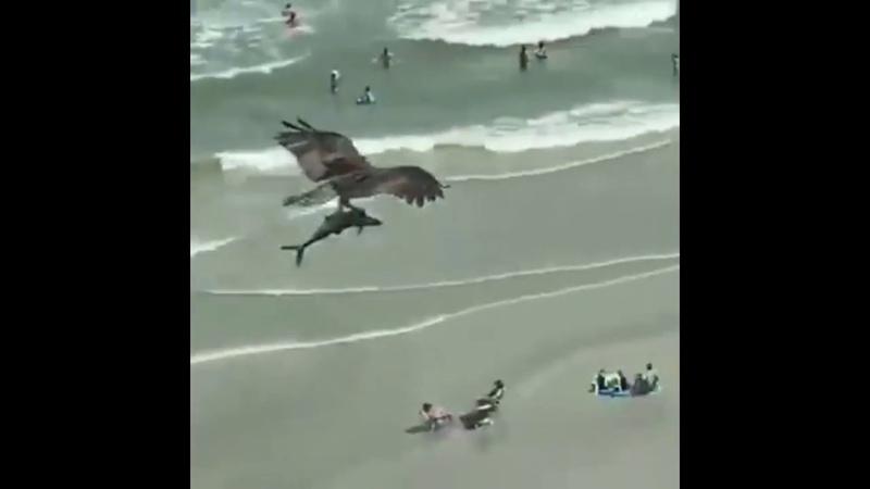 Хищная птица в США подняла в воздух акулу