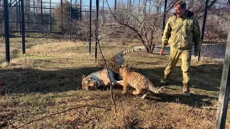 ТИГРЕНОК ВЕЗУНЧИК и его братья нападают на маму тигрицу Всем ВЕСЕЛО