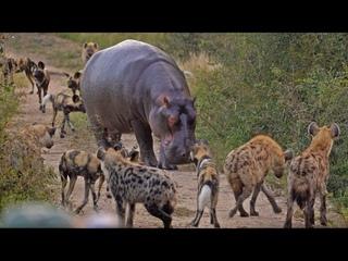 Battle between Wild Dogs, Hyenas, Hippos & 2 Impalas