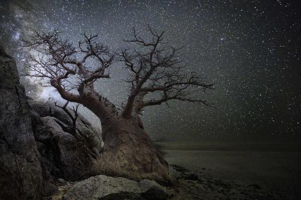 Созвездие Лира и баобаб в Ботсване.