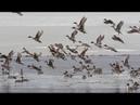 Пришло тепло и тысячные табуны шилохвости. Охота на утку 2021 Западная Сибирь