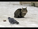 Приколы про котов и кошек.Коты и голуби.Когда забыл кота покормить 17.