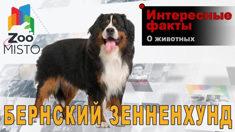Бернский зенненхунд Интересные факты о породе Собака породы бернский зенненхунд
