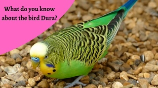 A brief introduction of The bird Durra! 2021