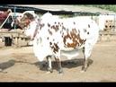 Cow farming Bulls Farm Cow mandi Bulls Zoo Network