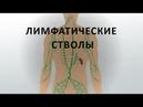 10. Лимфатические стволы