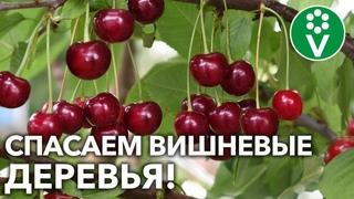 БОЛЬШОЙ УРОЖАЙ КАЖДЫЙ ГОД! Защитите вишни сейчас от ТРЕХ главных напастей!