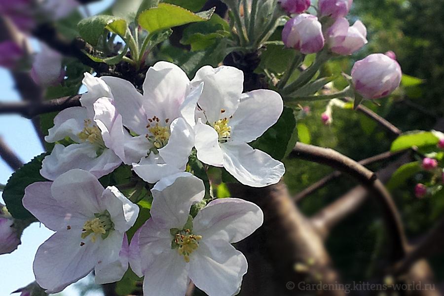 Почему не плодоносит яблоня