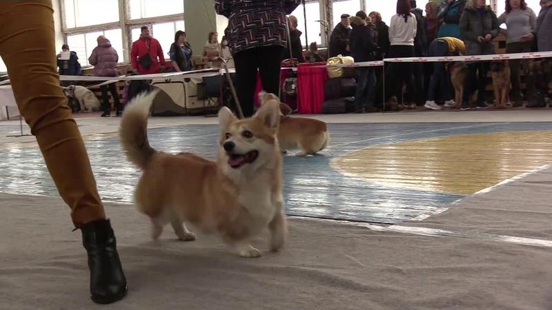 Вельш корги пемброк на выставках собак Масленица 2020 и Скобари 2020