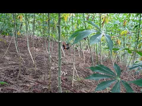 @công táo vlogs bài học cần ghi nhớ cho những anh em bẫy gà rừng khi bẫy gà đầu mùa bẫy gà rừng