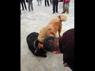 Ротвейлер против Тибетского Мастифа