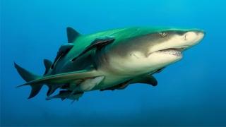 Лимонная акула