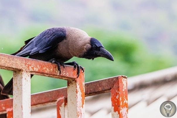У ворон обнаружено первичное сознание