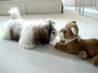 Shih Tzu puppy Lacey discovers stuffed toy lion for first time