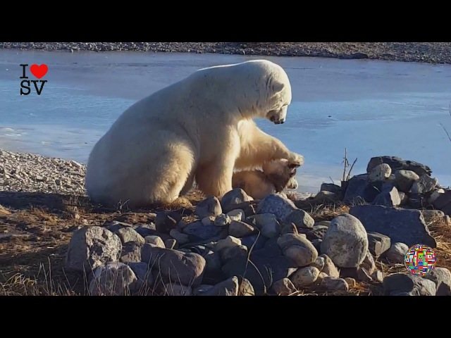БЕЛЫЙ МЕДВЕДЬ ГЛАДИТ СОБАКУ ПО ГОЛОВЕ | Giant Polar Bear Pets Cuddles Up With Dog *SV HD*