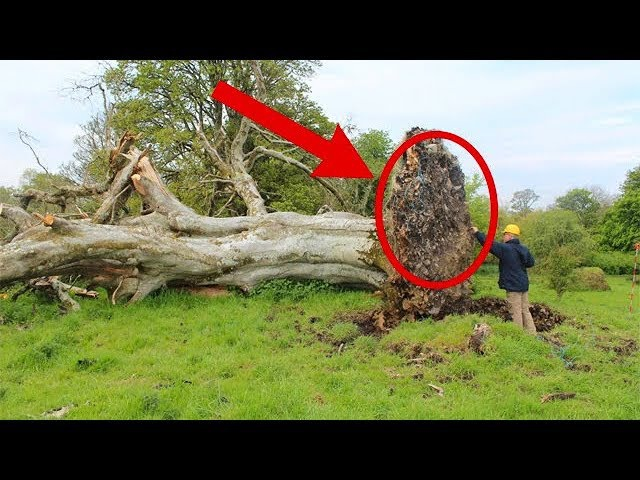 1000 лет это было скрыто от людей в корнях дерева! Находку обнаружили благодаря сильному урагану…