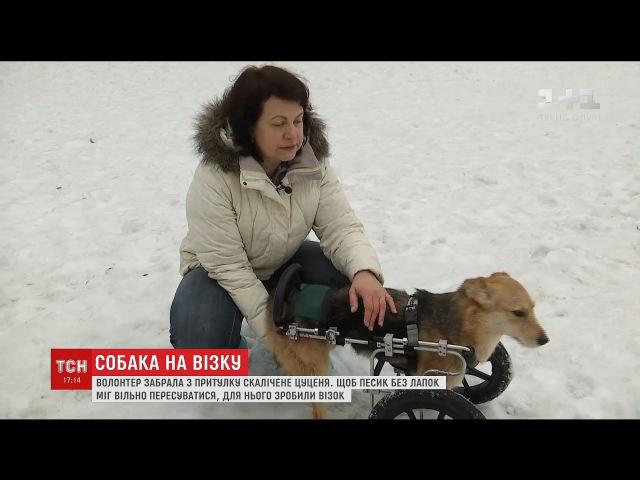 Собачка, якій трамвай відрізав лапки, вдало освоює інвалідний візок