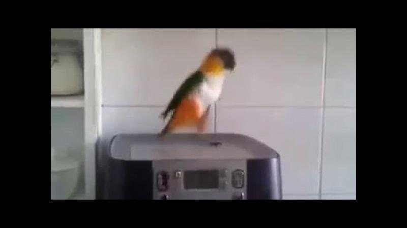 The Irish Parrot Is Hilarious
