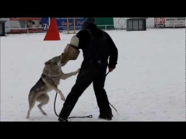 Aprilia Kuklík czechoslovakian wolfdog