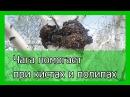 Березовый гриб чага помогает при кистах и полипах