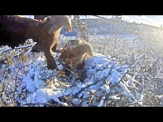 W T eagles Latvia 1 3 17 Vent Shilut working to remove snow off nest