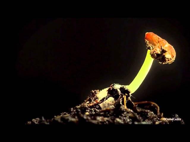 Прорастание семени. Seed germination. Daniel Csobot.