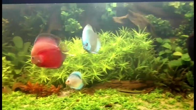 Домашний аквариум с дискусами от Christophe Wiart