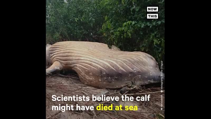 Детеныш горбатого кита был найден мертвым в джунглях амазонки и биологи не знают как он туда попал