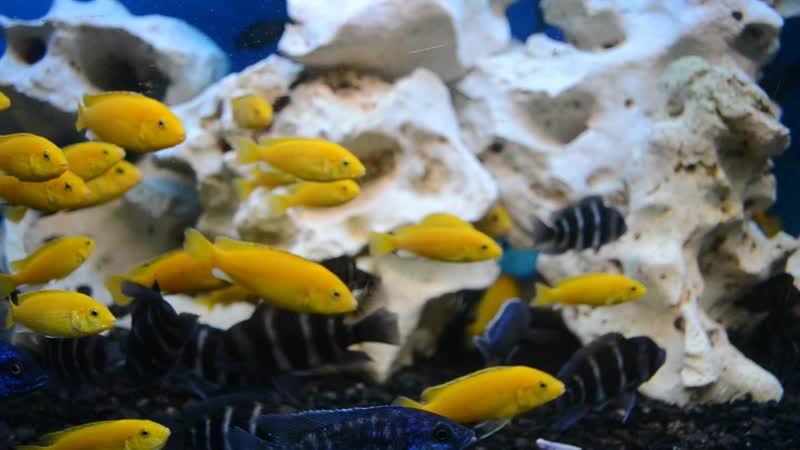 Хаплохромис васильковый или Джекона. Наличие в зоомагазине «СКАТ» 11.03.19