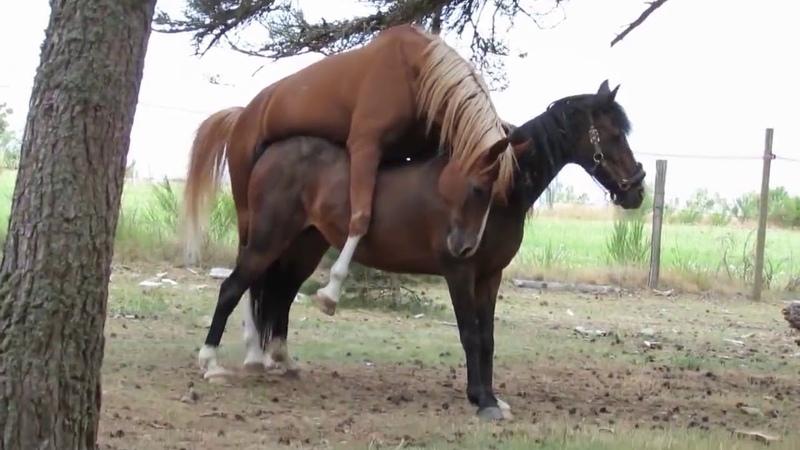 Horse artificial insemination nature fertilization breeding mating stallion childbi马人工授精自然受精繁殖交配种马分娩