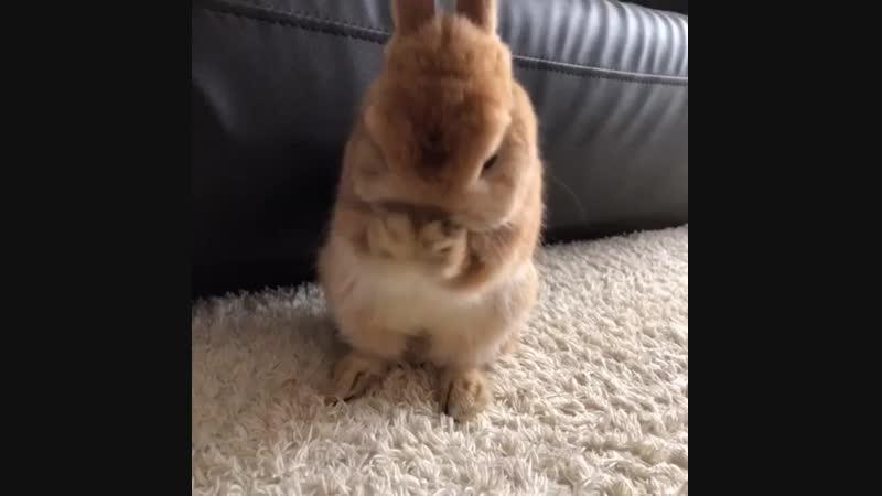 見飽きない… rabbit うさぎ ネザーランドドワーフ 愛兎 ペット オレンジ ふわもこ部 netherlanddwarf pet rabbit bunny 750 X 750 mp4