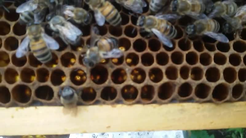 Как пчела трутовка откладывает яйца