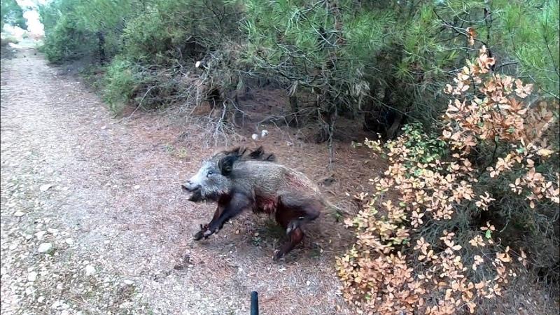 Avcıya saldıran yaban domuzu!Wild Boar attacking the hunter!