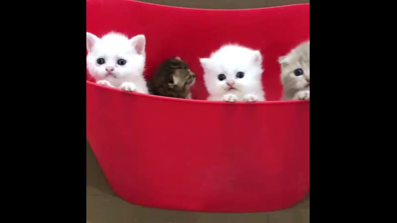 Snoopy Paw House Cattery on Instagram_ _Pamuğun be_0(MP4).mp4