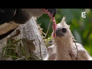 Cet oiseau tue et mange des singes | zapping sauvage