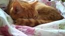 АСМР 😻 - Рыжий кот засыпает, ASMR - The redhead cat falls asleep😻😺😻