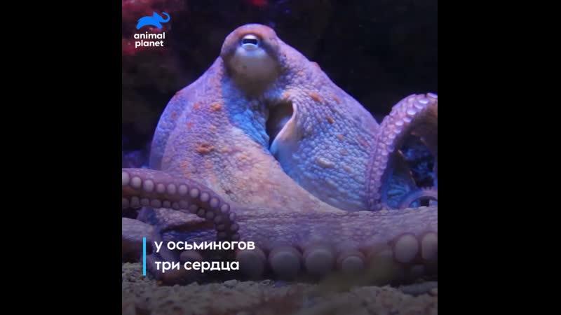 Осьминоги Animal Planet