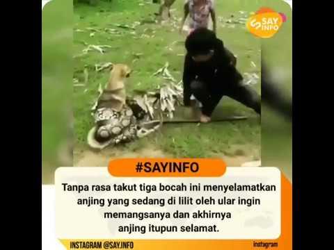 Tiga bocah yang menyelamatkan seekor anjing yang sedang dililit ular