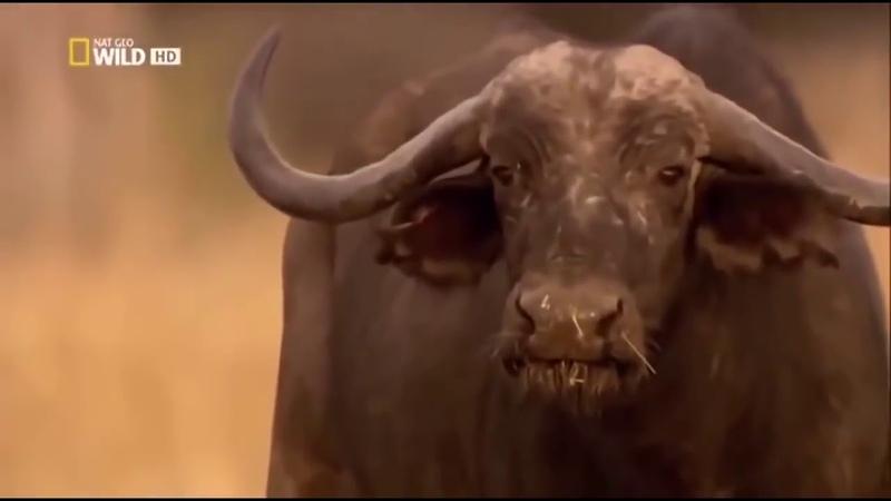 Львы Африки NAT GEO WILD BBC прайды львов DenV