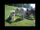 Fofura explícita: cachorro e vaca trocam carícias
