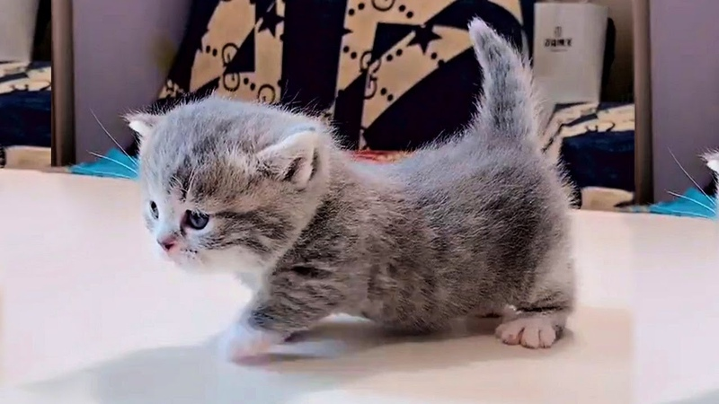 Tiny Munchkin Kittens That Will Lighten Up Your Day