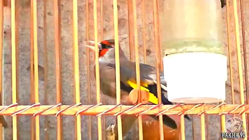 Супер пение седоголовый щегол Таджикистан singing Gray headed Goldfinch Tajikistan