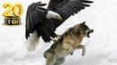 20 Страшных нападений орлов! Орёл на охоте против волка лисы змеи козы зайца медведя кабана человека