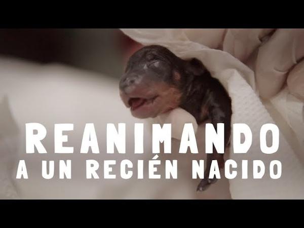 Реанимация новорожденных щенят