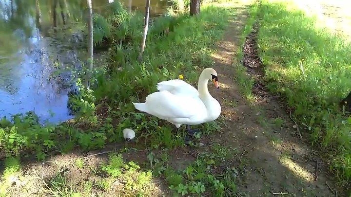 Прогулка лебедя вдовца со своим птенцом