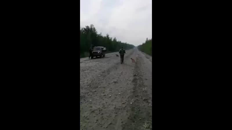 На трассе Северо Енисейский Еруда местные жители встретили исхудавших лисят и просят им помочь